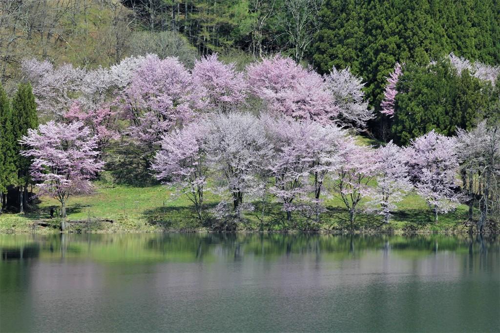 信濃大町 中綱湖 山桜