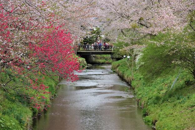 新名庄川 桜