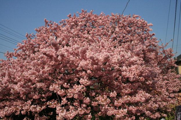 静岡県 河津町 河津桜 かじやの桜