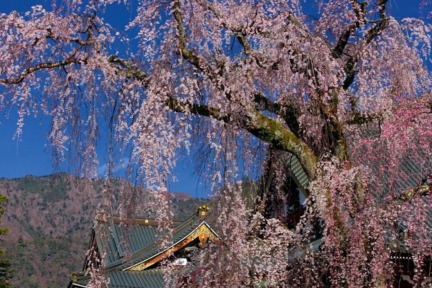 身延山久遠寺 樹齢400年の枝垂れ桜