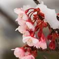 写真: 日立紅寒桜