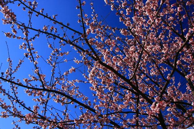 Photos: 648 日立紅寒桜 まえのうち公園