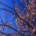 写真: 日立紅寒桜 まえのうち公園