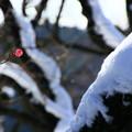 Photos: 梅一輪