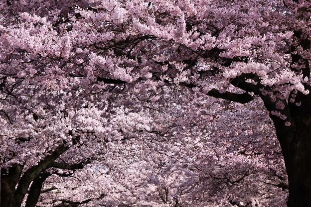 Photos: 014 平和通りの桜並木  日立市
