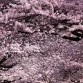 030 平和通りの桜並木  日立市
