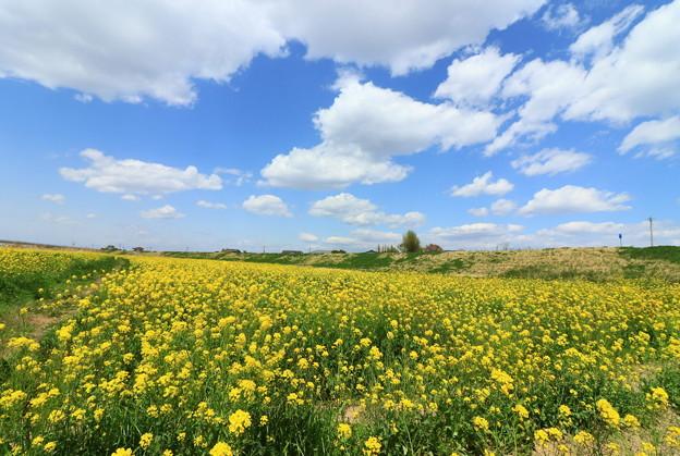 Photos: 956 久慈川 菜の花畑