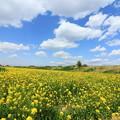 写真: 943 久慈川 菜の花畑