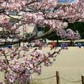 Photos: 四代桜 助川小学校