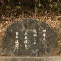 346 鞍掛山の大島桜