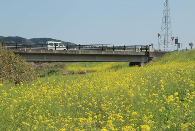 里川の菜の花畑 常陸太田