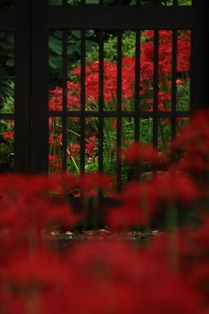 Photos: 315 本宮の彼岸花