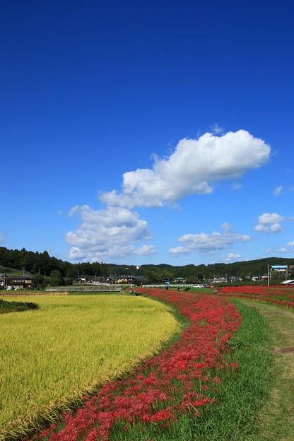 Photos: 源氏川の彼岸花 常陸太田
