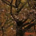 写真: 168 十王パノラマ公園の二期桜