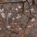 写真: 8 塙山のハナミズキと冬桜
