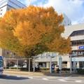 Photos: 013 日立駅前の大イチョウ