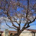 84 大沼の二期桜
