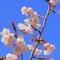 おぎつやよい桜