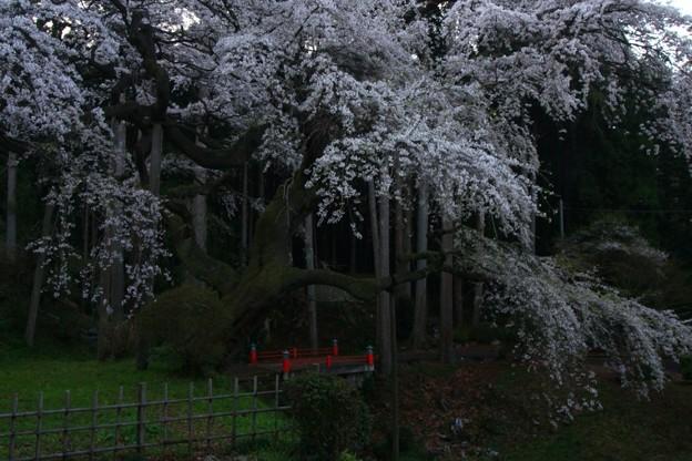 泉福寺のシダレザクラ 常陸太田