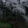 写真: 泉福寺のシダレザクラ 常陸太田
