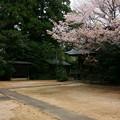 262 澳津説神社の桜
