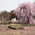 Photos: 780 諏訪のシダレザクラ