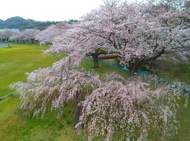 Photos: 桐木田のシダレザクラ
