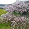 Photos: 611 桐木田のシダレザクラ