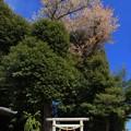 Photos: 314 愛宕神社の石抱き桜
