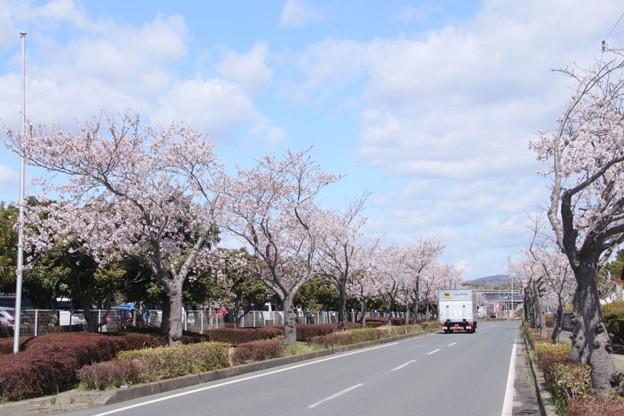 Photos: 989 大和田町の桜並木