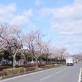979 大和田町の桜並木