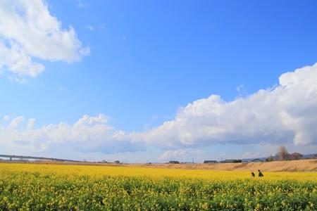 久慈川の菜の花畑