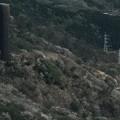 361 大煙突と大島桜 ある町の高い煙突