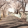 Photos: 36 諏訪台の桜