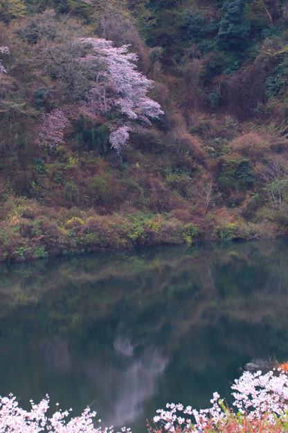 162 十王ダムの石割桜