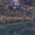 137 十王ダムの石割桜