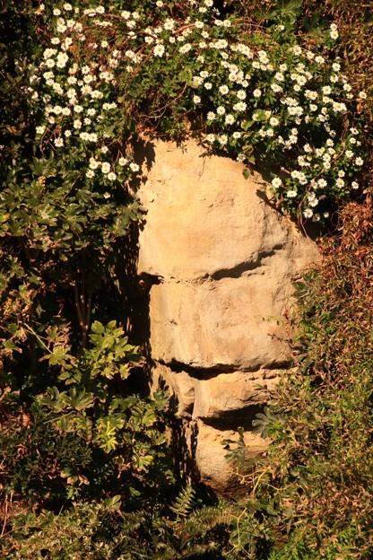 Photos: 779 アンドレの岸壁 日立のハマギク