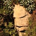 779 アンドレの岸壁 日立のハマギク