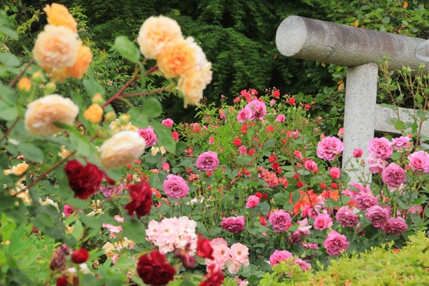Photos: 189 艫神社のバラ園