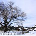 Photos: 左近の桜 雪景色 偕楽園