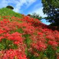 936 彼岸花の丘 赤羽緑地