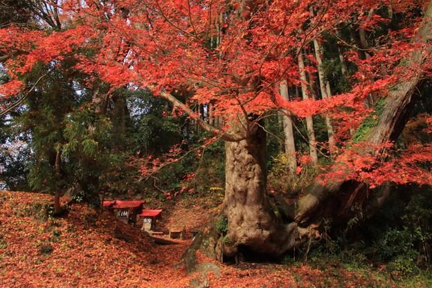 Photos: 528 梨久保のカエデ