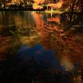 水戸市植物公園 ひょうたん池のラクウショウ