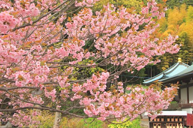 Photos: 337 大雄院八重桜