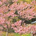 337 大雄院八重桜