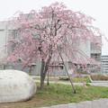 Photos: 543 平沢さくら公園