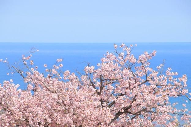 087 かみね公園の八重桜