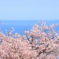 Photos: 087 かみね公園の八重桜