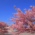 942 久慈浜の河津桜