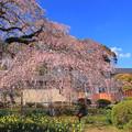 安国寺のシダレ桜 水戸市